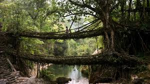 living roots bridge in Meghalaya